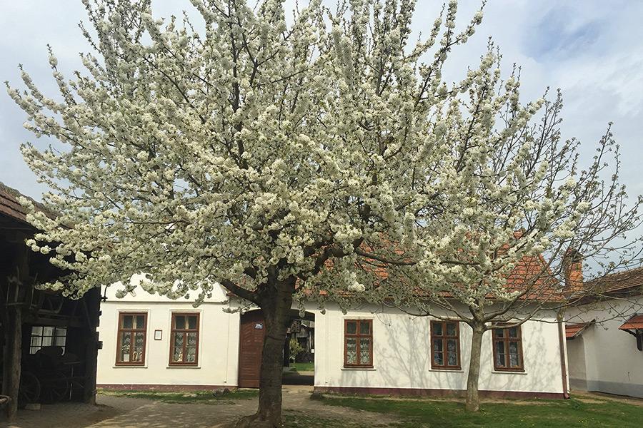 Zwei blühende Bäume im Dorfmuseum Mönchhof